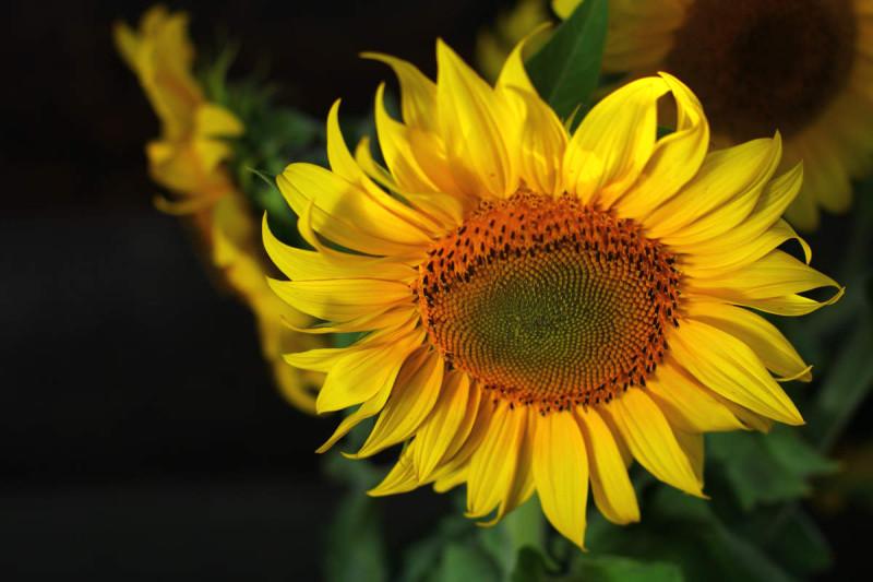 giallo fiore di girasole