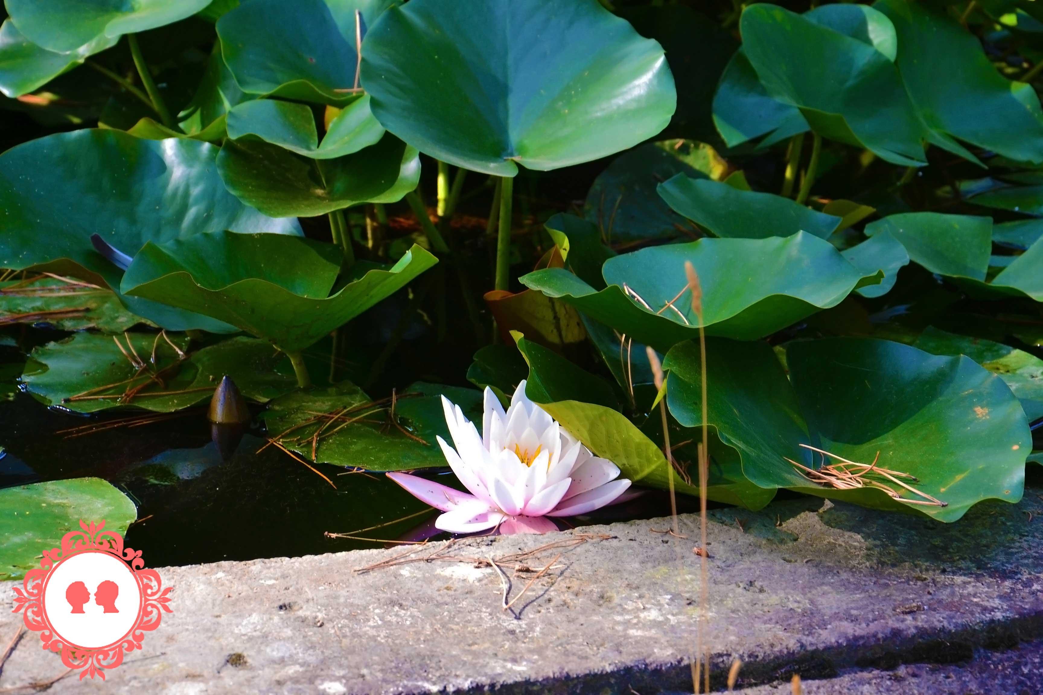 fiore di loto Castello di Lourmarin