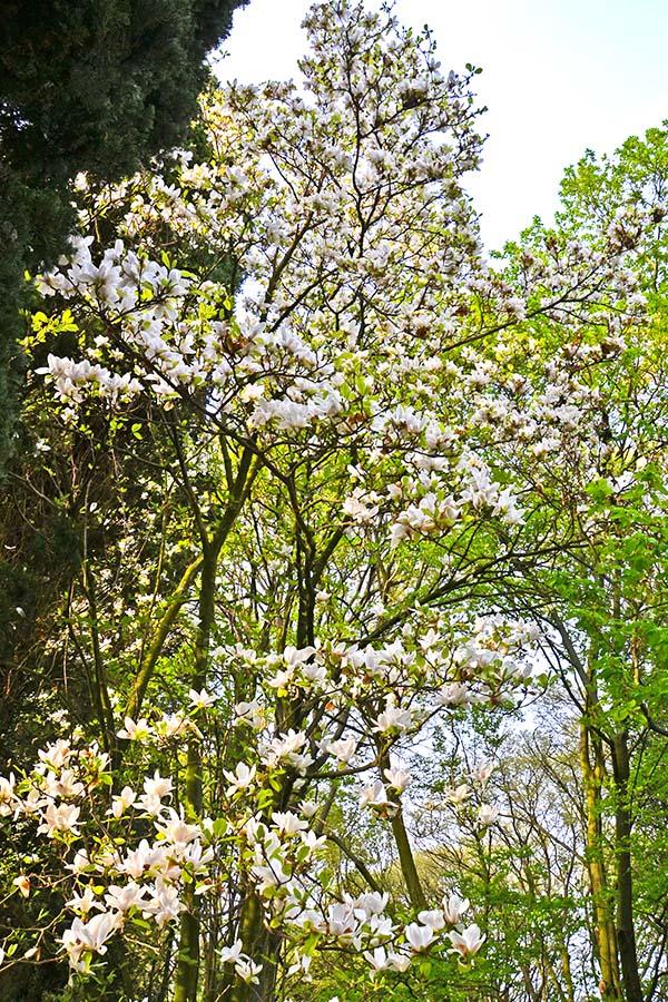 magnolia del Parco Giardino Sigurtà