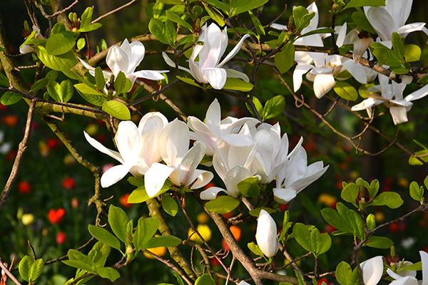 magnolie del Parco Giardino Sigurtà